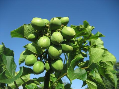 Jatropha fruit. Image credit: Ton Rulkens